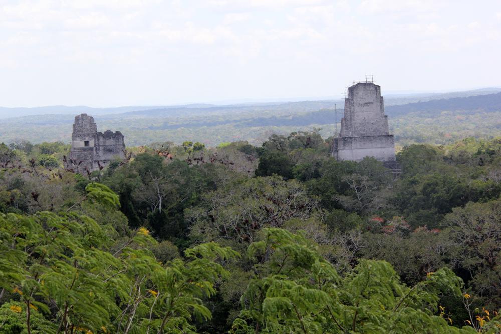 Jungelen ligger tett rundt de gamle tempelene.