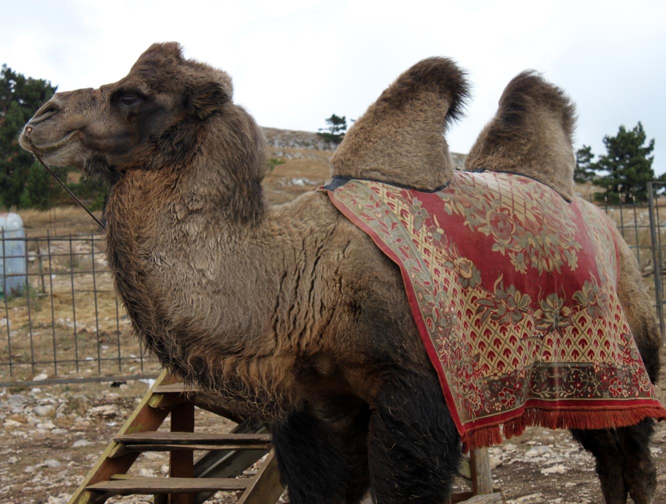 Pelskledde kameler møtte oss på toppen
