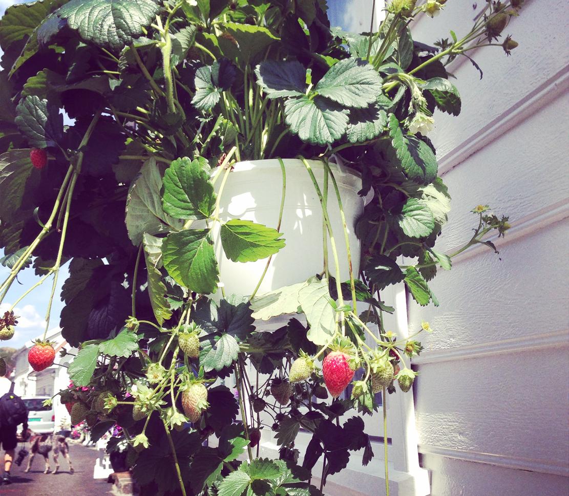 Jordbær gjør seg godt som hengende potteplanter i hovedgata.