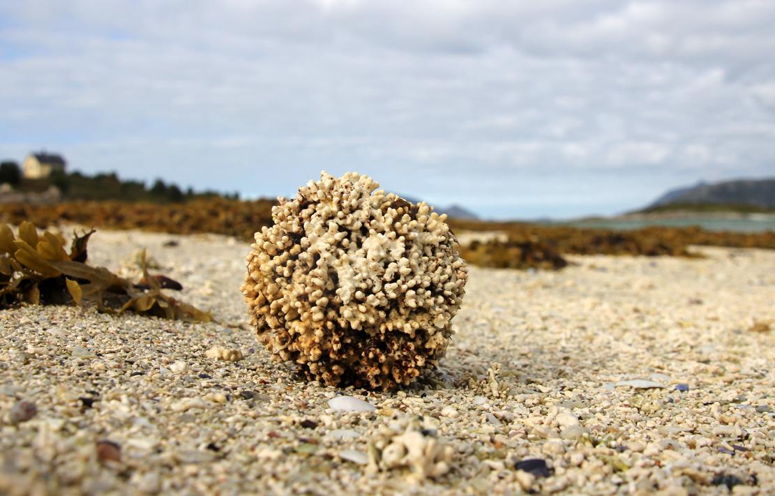 Korallball på stranden.
