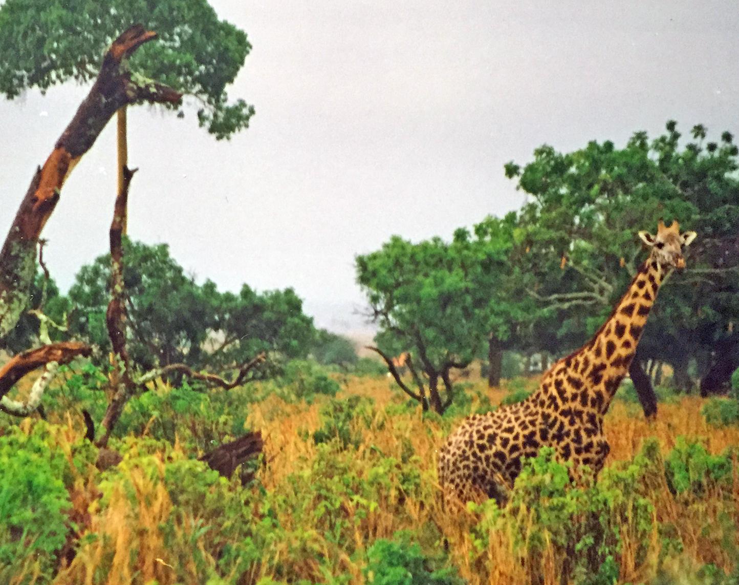 Giraffene er større enn jeg jeg hadde forestilt meg. Denne er godt kamuflert av landskapet ved Manyarasjøen. Foto: Linn Krogh Hansen.