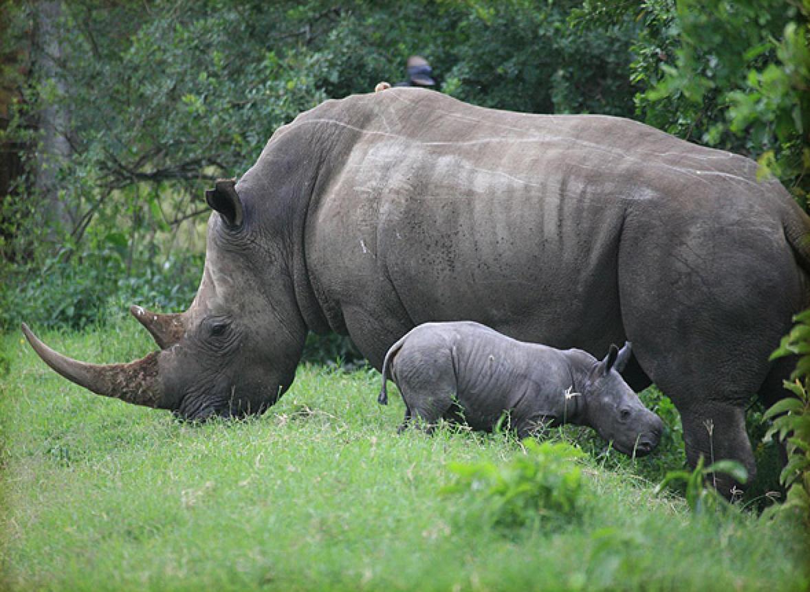 Flott dyr, men vær obs på at denne kjempen kan velte pickup-biler hvis han e ri i det rette humøret og man provoserer med å kjøre for nærme. Sanne & Hans Lykke Gregersen, Tembo Safari.