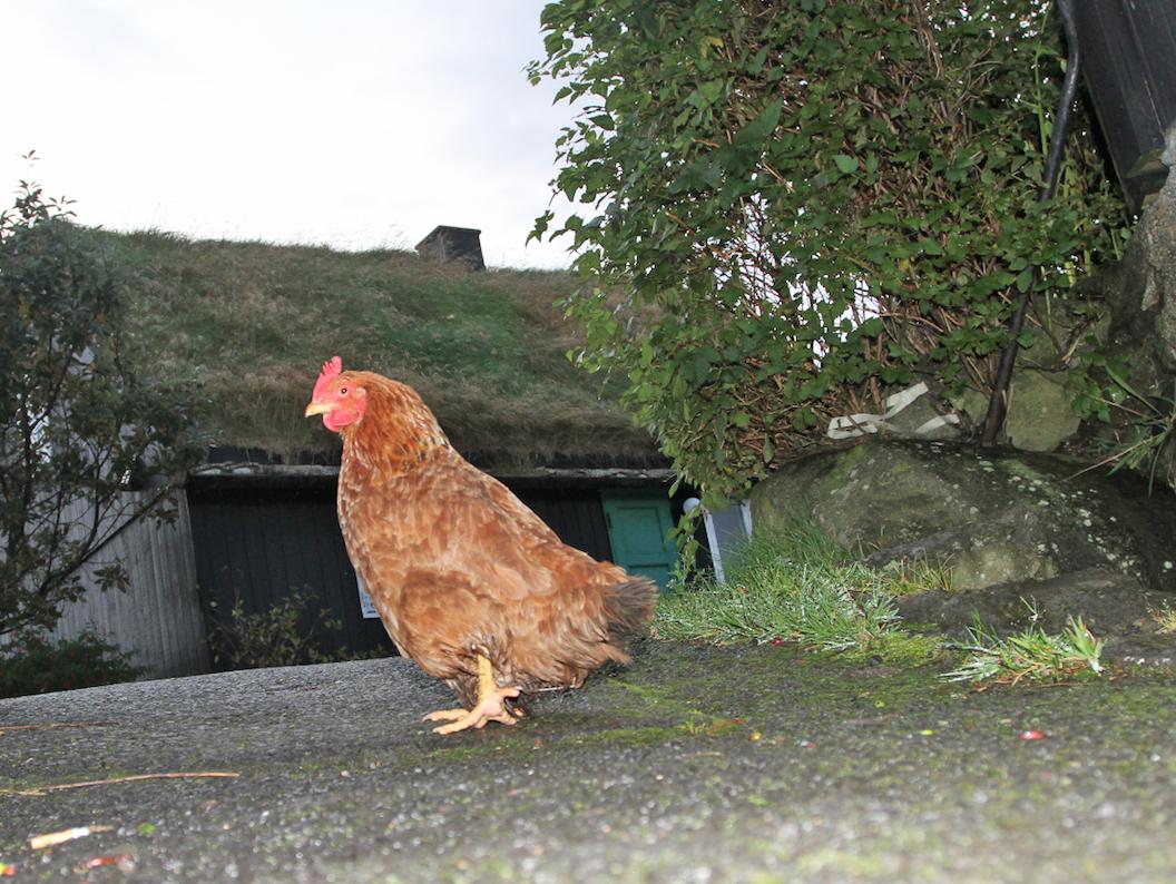 Frittgående høne på vift i gaten.