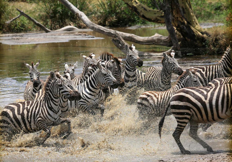 FLOKKDYR: Zebraene er et av de mest vanlige dyrene i Tanzania.