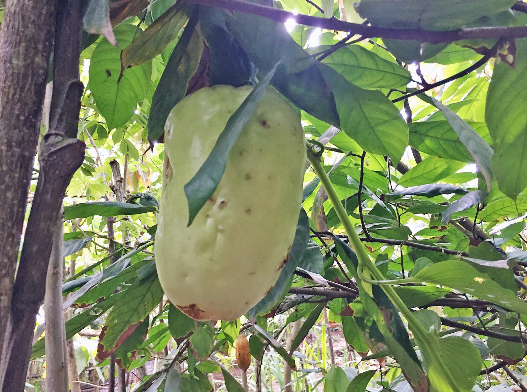 Slik ser en kakaofrukt ut. Ekte saker..