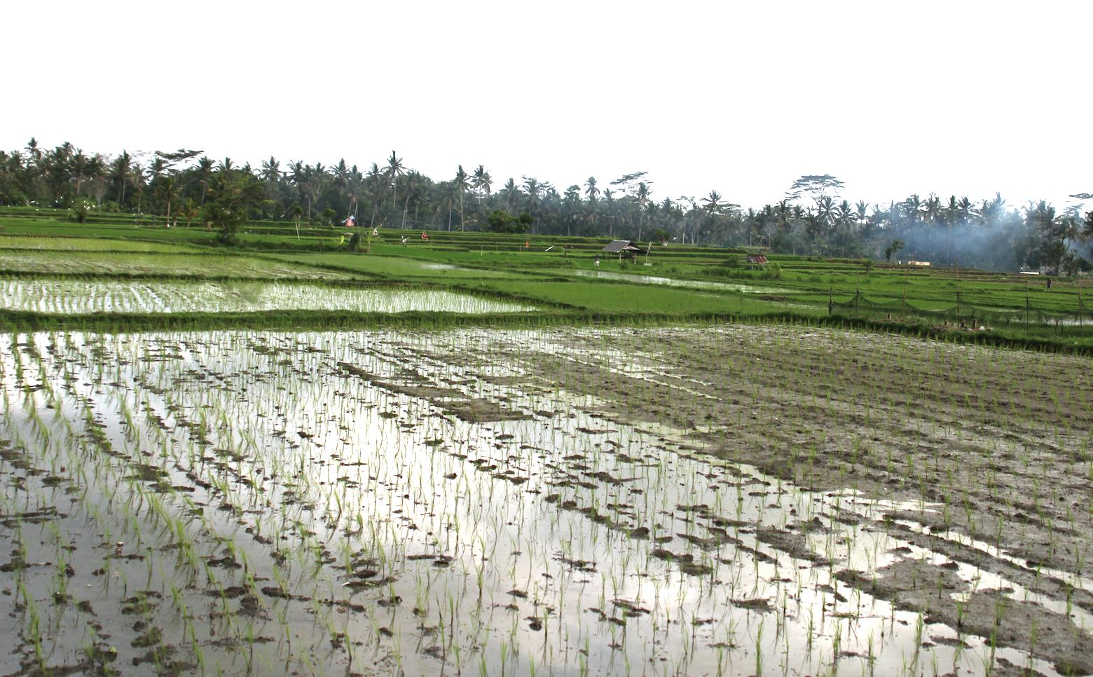 Avlingene høstes to ganger i året, og risen plantes i flere omganger, slik at ikke alt modnes på likt. Dermed oppstår de kjente fargenyansene på «lappeteppene».