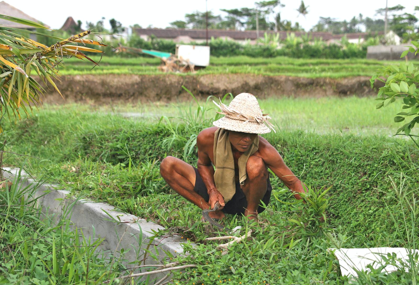 Risbøndene har en knallhard jobb, ettersom det meste av jobben foregår for hånd.