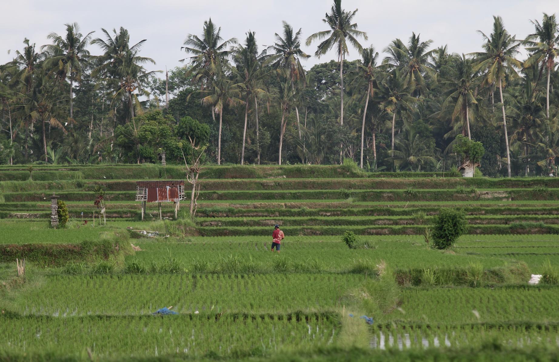 Ristmarkene på Bali er viden kjent for sine lappeteppe-aktige jorder i etasjer.
