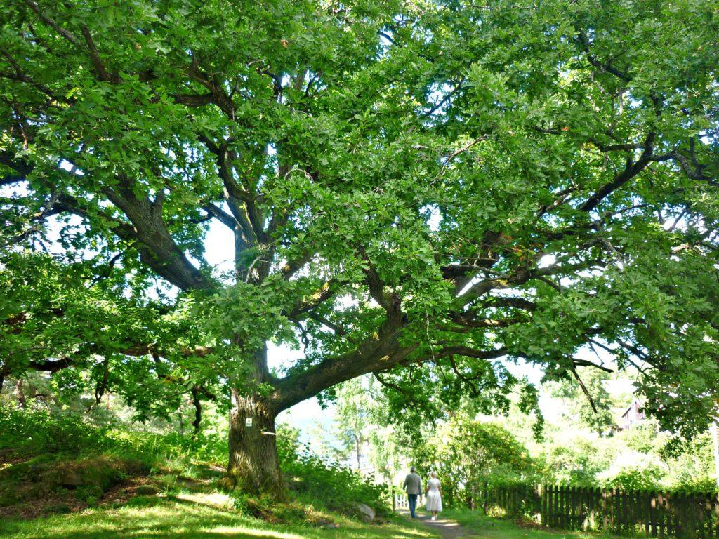 LIVETS TRE: Den fredede eika ved Støa er estimert til 400 år gammel.