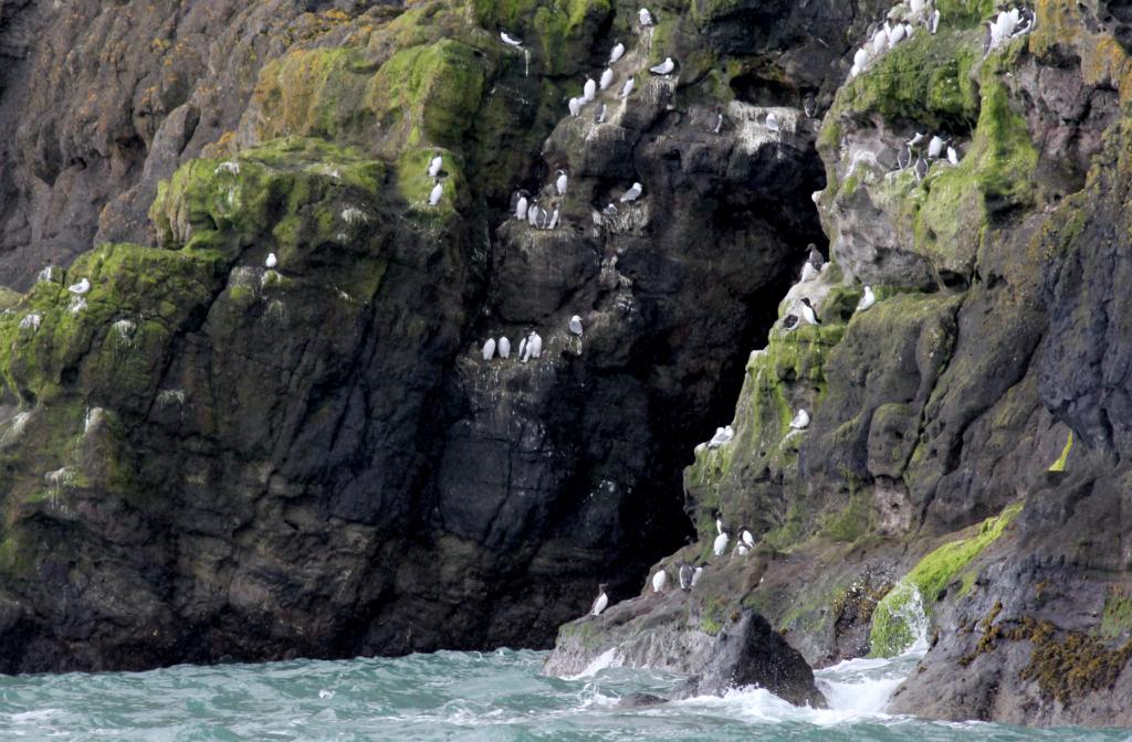 FUGLEFJELL: The Gobbin Path er hjem til tusenvis av sjøfugl.